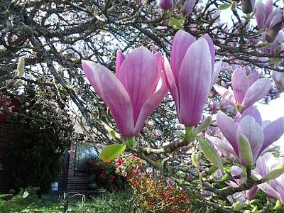 Photograph - Magnolias by David Trotter