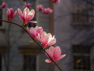 Photograph - Magnolia's Descent by Rob Amend