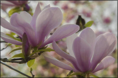 Photograph - Magnolias by Erika Fawcett