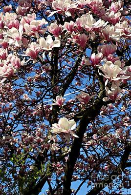 Frank J Casella Royalty-Free and Rights-Managed Images - Magnolias by Frank J Casella
