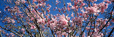 Flower Blooms Photograph - Magnolias, Golden Gate Park, San by Panoramic Images