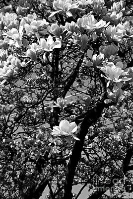 Recently Sold - Frank J Casella Royalty-Free and Rights-Managed Images - Magnolias in White by Frank J Casella
