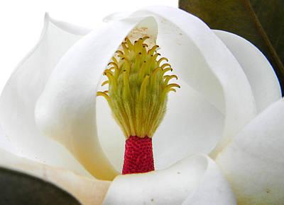 Photograph - Magnolias Secret by Christy Usilton