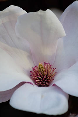 Photograph - Magnolia's Splendor by Michael Friedman