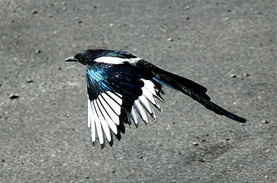 Photograph - Magpie Flying by Lee Kirchhevel