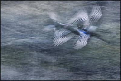 Photograph - Magpie In Flight by Erika Fawcett