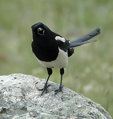 Photograph - Magpie by Lee Kirchhevel