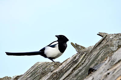 Magpie On Roofs Original by Tommytechno Sweden