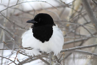Photograph - Magpie Profile by Alyce Taylor