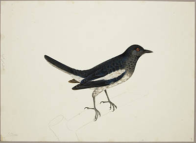 Illustration Technique Photograph - Magpie-robin by British Library