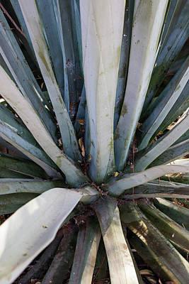 Maguey Agave Plant Art Print