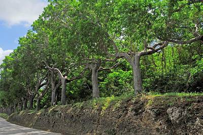 Photograph - Mahogany Trees In Barbados by Willie Harper