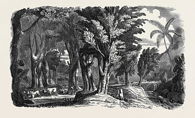 Mahogany Trees In The West Indies Print by English School