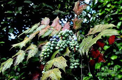 Berries Photograph - Mahonia by Tanya  Searcy