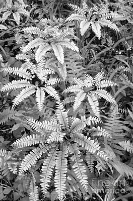 Photograph - Maidenhair Ferns by Chris Scroggins