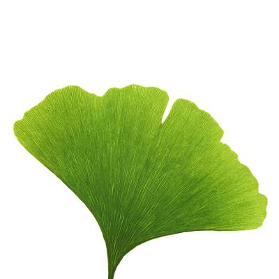 Maidenhair Leaf Art Print