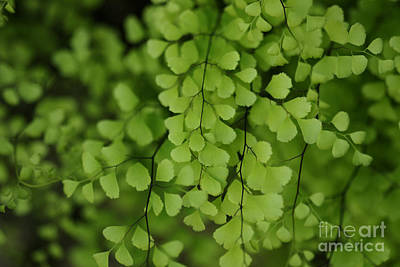 Photograph - Maidenhair by Linda Shafer