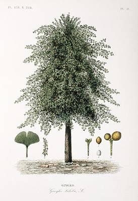 Gingko Wall Art - Photograph - Maidenhair Tree, 19th Century by Science Photo Library