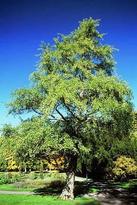 Gingko Wall Art - Photograph - Maidenhair Tree (ginkgo Biloba) by Dan Sams/science Photo Library