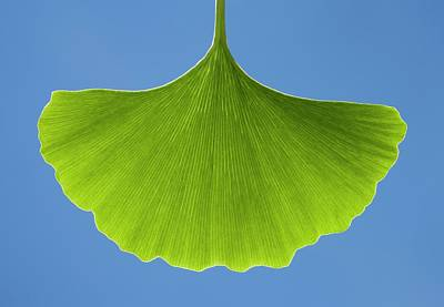 Maidenhair Tree (ginkgo Biloba) Leaf Art Print