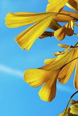 Gingko Wall Art - Photograph - Maidenhair Tree Leaves (ginkgo Biloba) by Dr. John Brackenbury/science Photo Library