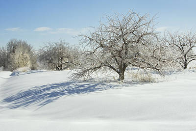 Photograph - Maine Apple Trees Covered In Ice And Snow by Keith Webber Jr