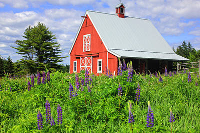 Maine Barn With Lupine Art Print