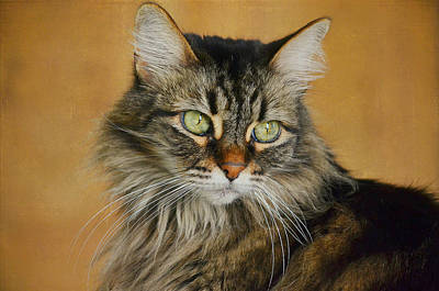 Photograph - Maine Coon In Topaz 2 by Fraida Gutovich