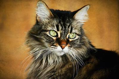 Photograph - Maine Coon In Topaz by Fraida Gutovich
