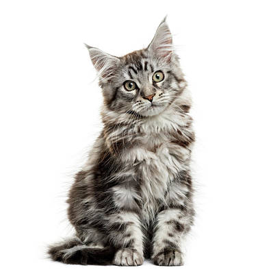 Maine Coon Kitten In Front Of White Art Print by Life On White