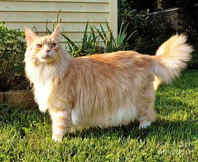 Photograph - Maine Coon Outside by Judy Via-Wolff