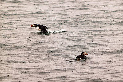 Photograph - Maine Puffins In The Rain   by Lars Lentz