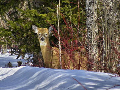 Photograph - Maine Wildlife 2 by Gene Cyr