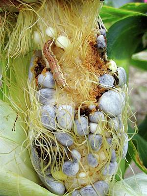 Maize Cob Infected With Corn Smut Print by Eric Schmelz/us Department Of Agriculture