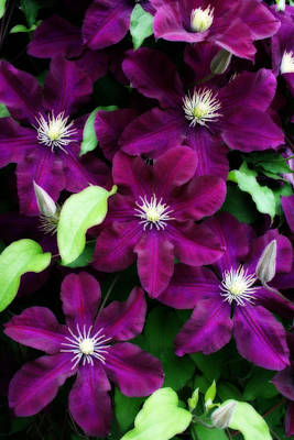 Majestic Amethyst Colored Clematis Art Print