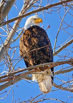 Rights Managed Images Photograph - Majestic Bald Eagle by Greg Norrell