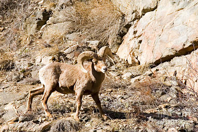 Steven Krull Royalty-Free and Rights-Managed Images - Majestic Bighorn by Steven Krull