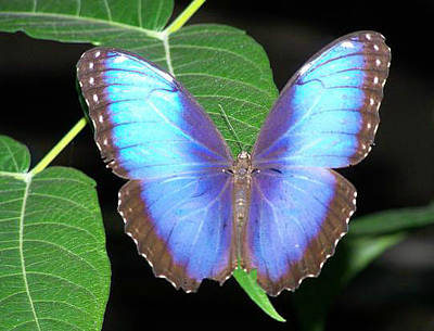 Photograph - Majestic Blue Morpho by Noreen HaCohen