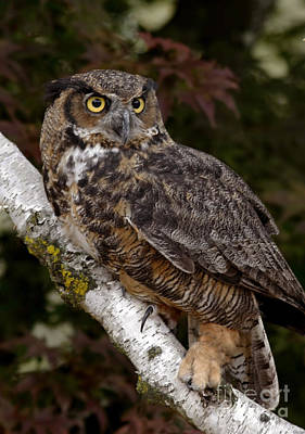 Majestic By Nature Great Horned Owl In A Birch Tree Art Print