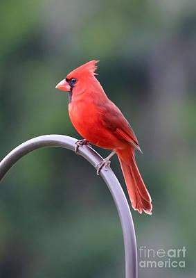 Cardinals. Wildlife. Nature Photograph - Majestic Cardinal by Carol Groenen