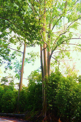 Photograph - Majestic Eucalyptus by Paulette B Wright