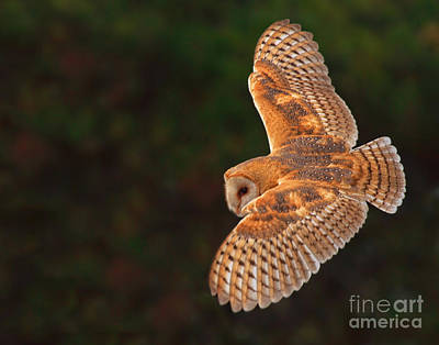 Majestic Flight Art Print