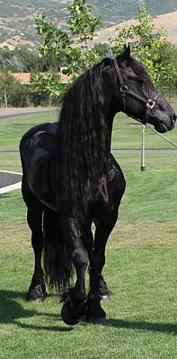 Photograph - Majestic Friesian by Carol Whitaker