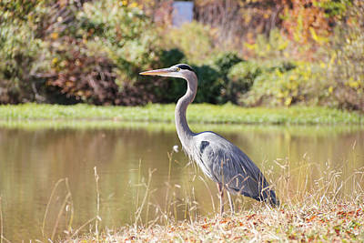 Majestic Great Blue Heron In Autumn Art Print