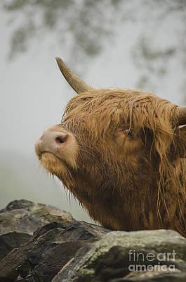 Majestic Highland Cow Art Print