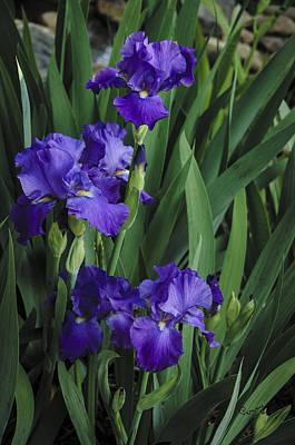Photograph - Majestic Irises by Penny Lisowski
