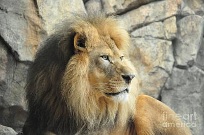 Photograph - Majestic Lion by Lula Adams