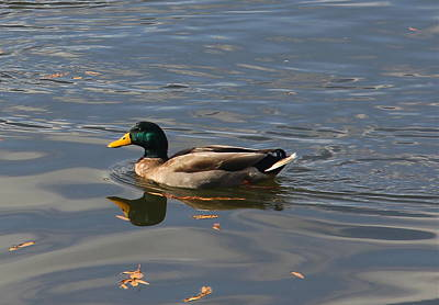 Photograph - Majestic Mallard by Denise Mazzocco
