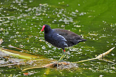 Moorhen Photograph - Majestic Moorhen by Al Powell Photography USA