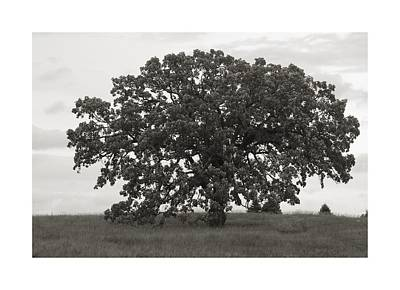 Photograph - Majestic Oak by Charles Owens